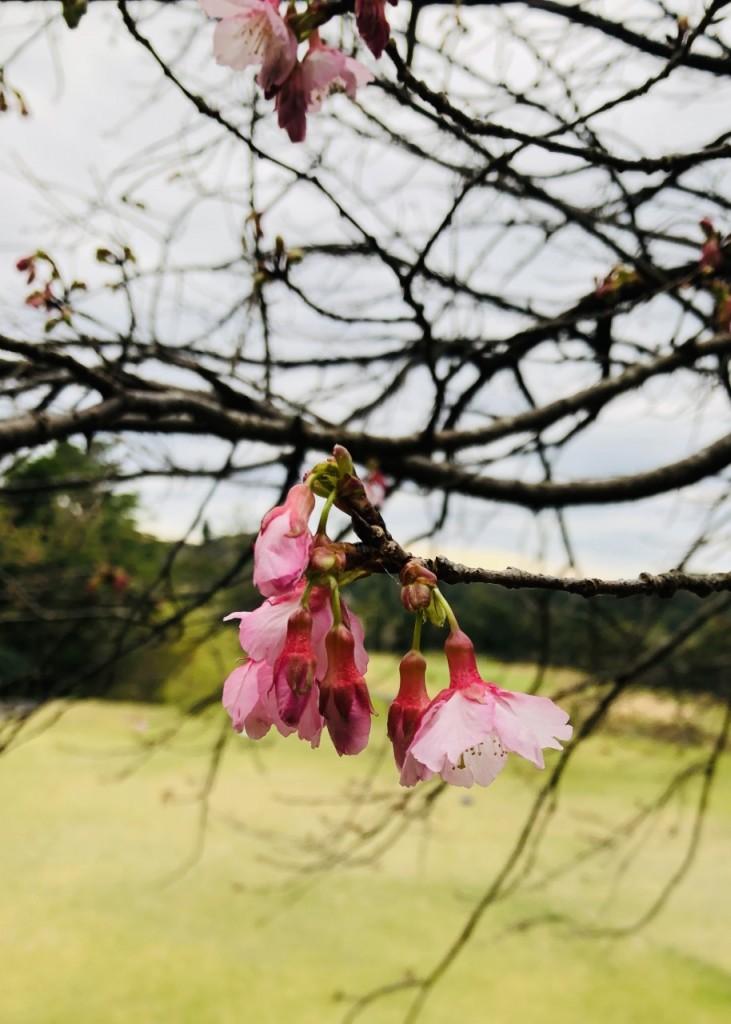 2020.1.3 ヒカン桜