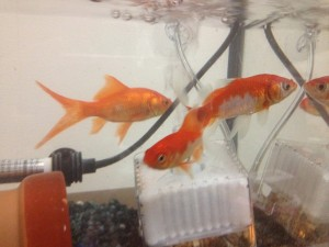 木倉の金魚