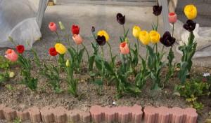 tulip00439