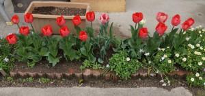 tulip03721