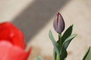 tulip03725