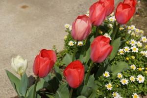 tulip03726