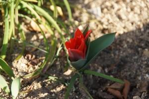 tulip04349