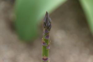asparagus04394