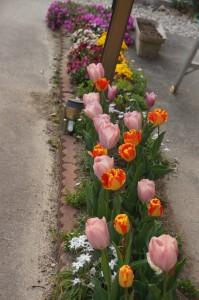 tulip04383