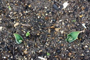 tulip04878