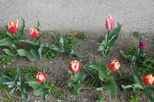 tulip05132