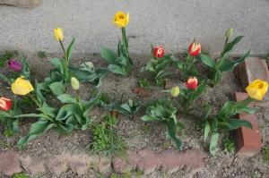 tulip05133