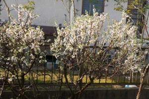 yusuraume05141