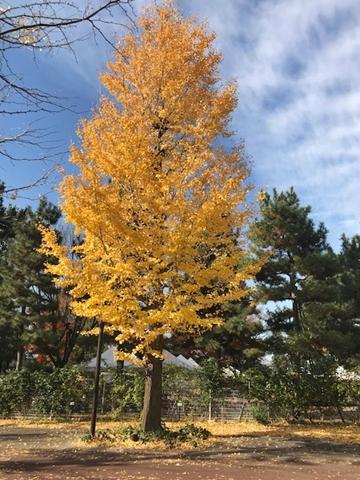 素敵な銀杏の木【ちょい不良オヤジ・西尾茂之の辛口blog】