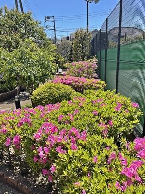 ツツジって五月の花だよね【ちょい不良オヤジ・西尾茂之の辛口blog】